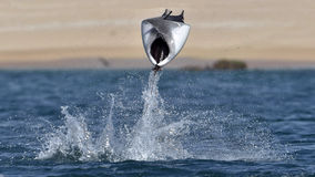 Flying Mobula Ray royalty free stock images