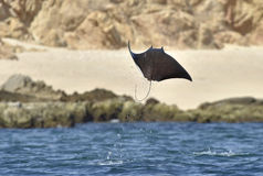 Flying Mobula Ray royalty free stock photo