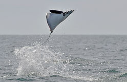 Flying Mobula Ray. Mobula ray jumping out of the water. Mobula munkiana, known as the manta de monk, Munk`s devil ray, pygmy devil ray, smoothtail mobula, is a stock photography