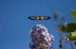 Flying moth Stock Image