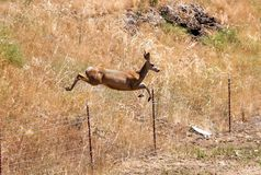 Flying Mule deer Stock Images