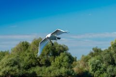 Flying mute swan Stock Photo