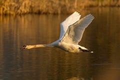 Flying mute swan bird cygnus olor, water surface, reed belt, m. Natural flying mute swan bird cygnus olor, water surface, reed belt, morning light stock photo