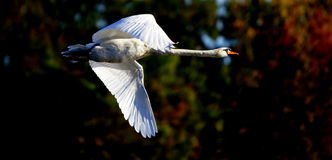 Flying Mute Swan. A flying Mute Swan in Kensington Metro Park near Milford, Michigan, in the greater Detroit area. Swans are birds of the Anatidae family within Stock Images