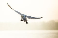 Flying mute swan in winter time Royalty Free Stock Photo