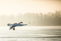 Flying mute swan in winter time Royalty Free Stock Photography