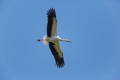 Flying natural white stork Ciconia ciconia in blue sky Stock Images