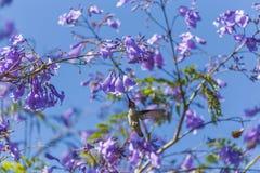 Flying nectar bird Stock Photo