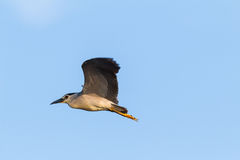 Flying night heron Stock Photos