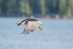 Flying night heron Stock Photo