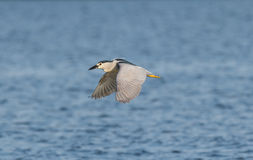 Flying night heron Stock Image