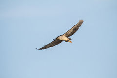 Flying night heron Stock Photography