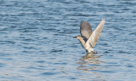 Flying night heron Royalty Free Stock Image