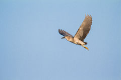 Flying night heron Royalty Free Stock Photography