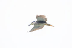 black crowned night heron flying Royalty Free Stock Images