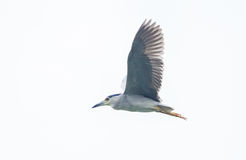 black crowned  night heron flying Stock Photography