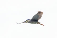 black crowned  night heron caught a fish  Stock Photos