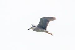 Black crowned  night heron flying Stock Photos