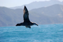Flying Northen Giant Petrel Royalty Free Stock Photos