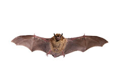 Flying Northern bat on white. Royalty Free Stock Photography