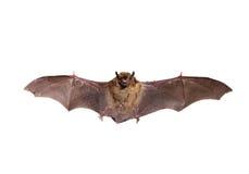 Flying Northern bat on white.
