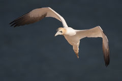 Flying Northern Gannet Royalty Free Stock Photo