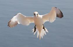 Flying Northern Gannet Stock Photo