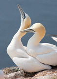 Flying Northern Gannet Stock Photography
