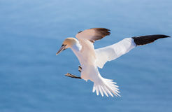 Flying northern gannet, Helgoland Germany Royalty Free Stock Photography