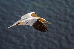 Northern Gannet flying in Helgoland royalty free stock image