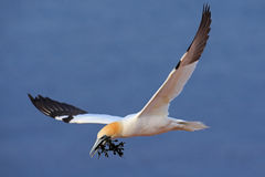 Flying Northern gannet with nesting material in the bill, with dark blue sea water in the background, Helgoland island, Germany Royalty Free Stock Photos