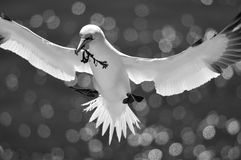 Flying Northern Gannet Royalty Free Stock Image