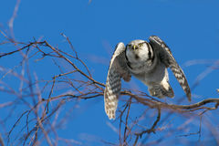 The flying Northern Hawk Owl (Surnia ulula). A flying Northern Hawk Owl (Surnia ulula). The Hawk Owl stays over the winter and is a daylight hunter. Uppland royalty free stock images