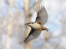 Flying Nuthatch with Open Wings. Simple flight of Nuthatch and difficult work to catch this moment Stock Image