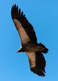 Flying Old World Vulture Royalty Free Stock Images