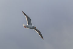 Flying One seagull isolated on the white sky. Stock Images