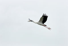 A flying Openbill stork Stock Photography