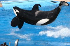 Flying Orca. Killer Whale jumping in a pool Stock Photo
