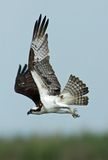 Flying Osprey. Vertical composition of an Osprey (Pandion haliaetus) in flight large in the frame royalty free stock photography
