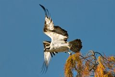 Flying Osprey Royalty Free Stock Photography