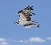 Flying Osprey Carrying A Fish Royalty Free Stock Photos