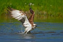 Flying osprey with fish. Action scene with bird, nature water habitat. Osprey with fish fly. Bird of prey with fish in the talon,. Hunting in the water Royalty Free Stock Photos