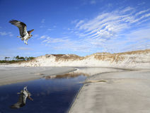 A Flying Osprey Reflected in a Beach Stream Royalty Free Stock Photo