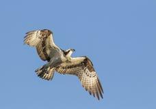 Flying osprey Royalty Free Stock Photography