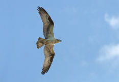 Flying Osprey with wings spread Royalty Free Stock Image