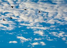 Flying Out To Sea royalty free stock image