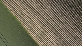Flying over agriculture field with potato stock video