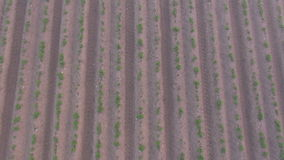 Flying over agriculture field with potato during a foggy sunrise stock video footage