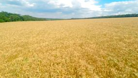 Flying over a field of wheat stock video footage