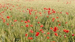 Red poppies in a cultivated field stock video footage